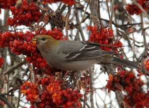 Pine grosbeak feasting on mountain ash berries