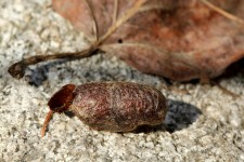 Cocoons usually contain silk but some are made of foreign material with little or no silk. Some hairy caterpillars even incorporate body hairs into their cocoons.