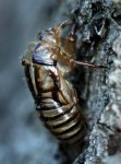 An insect's exoskeleton can't stretch or grow so as the insect grows it sheds (molts) its exoskeleton several times.