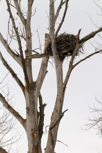 Eagles often build a nest in the broken top of a snag, especially in cottonwood trees along the Kootenai River.